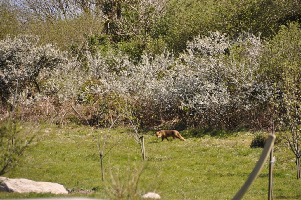 Our resident fox