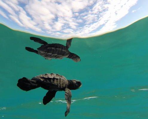 Baby Turtle Underwater