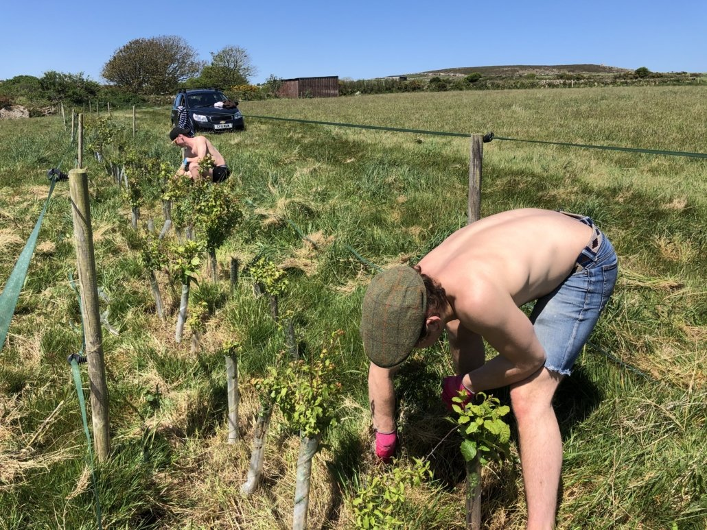 Clearing brambles from the young hedge plants