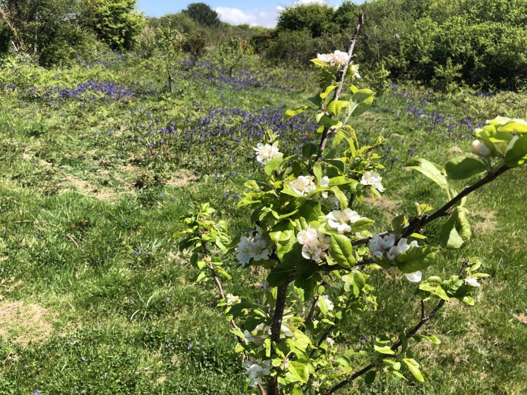 Bluebells in the orchard and cherry blossom